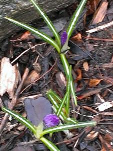 April crocuses