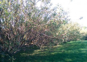 Row of willow bushes in my backyard.