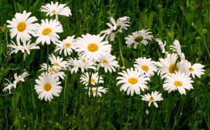 Field of white daisies.