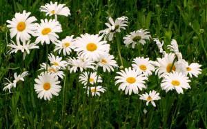 Field of white daisies.