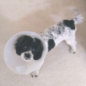 Sad-looking puppy with a plastic cone on her head.