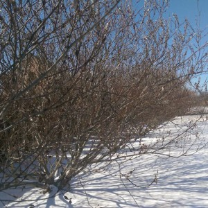 Willow hedge on a cold sunny day with snow on the ground.