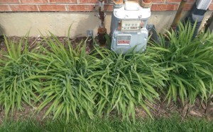 Row of four daylily plants, not blooming yet, under a gas meter.