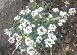 White alyssum in my garden next to a large rock.