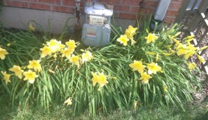 Yellow daylilies blooming under my gas meter.