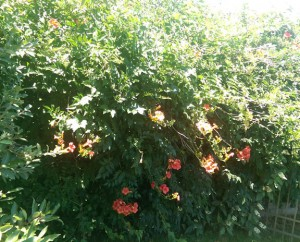 Orange trumpet vine in bloom along backyard fence.