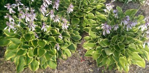 Three large hostas in bloom.