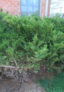 Junipers with bare spot in grass where they were pruned.
