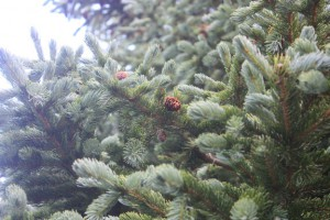 Mature blue spruce in daylight.