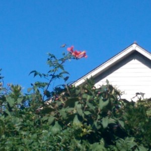 Hummingbird hovering beside orange trumpet vine with the neighbors' roof in the background.