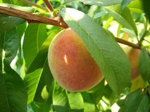 Peach on a leafy, sunlit tree.