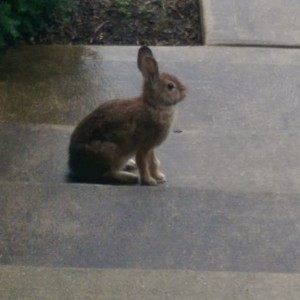 Rabbit sitting on my front porch steps.