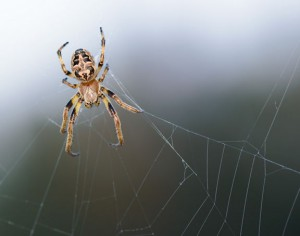 Spider in its web with a gray background.