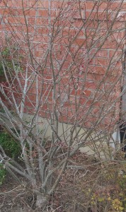 Bush with bare branches in front of a brick wall.