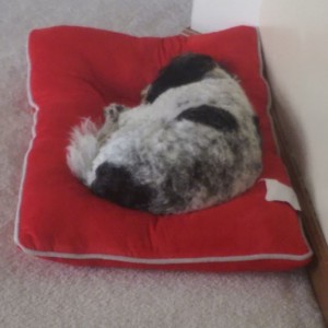 Dog sleeping on a red mat next to a wall.
