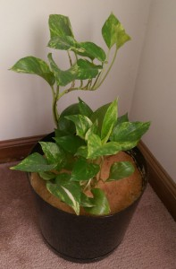 Healthy pothos plant in a black pot.