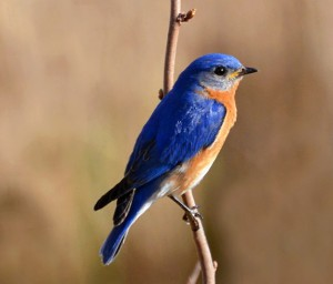 Bluebird perched on a branch.