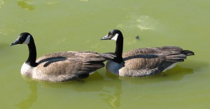 Mated pair of Canada geese in green water.