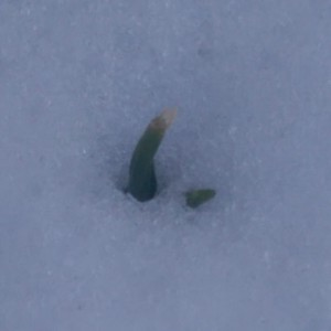 Tiny green tips of hyacinth shoots reaching through the snow.