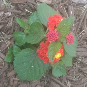 Small lantana with orange, pink, and yellow blossoms.