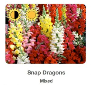 Picture of mixed-color snapdragons from plant sale flyer.