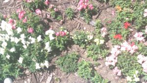 Snapdragons in bloom with two plants larger than the others.