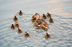 Wood duck swimming with her ducklings.