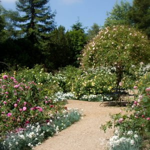 English rose garden with a path through the flowers.