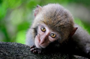 Monkey with big eyes peering over a log.