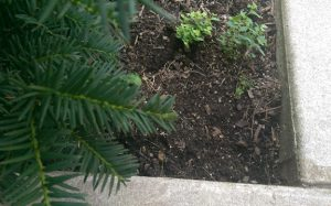 Small weeds under a bush that needs mulch.