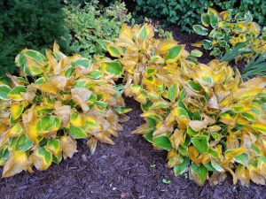 Hostas in autumn with a mix of bright yellow, green, and brown leaves.