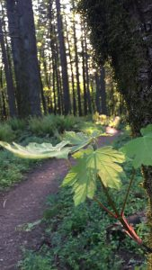 Forest trail in springtime, with light filtering through the trees.