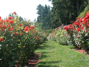 Grass path through rose garden in bloom.