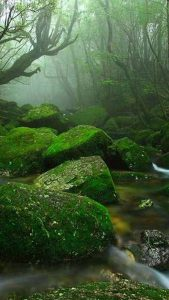 Mossy rocks in a stream in Yakushima Forest, Japan.