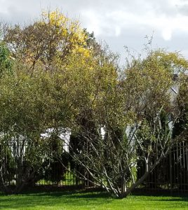 Willows after pruning in October.