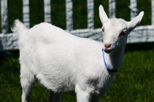 White goat standing on grass.