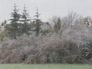 Ice-covered willows with branches hanging to the ground.