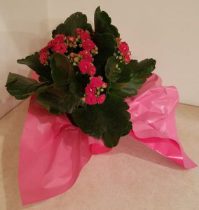 Kalanchoe plant with red blooms in a small pot with red tissue paper.