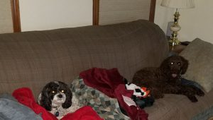 Two dogs looking comfy on the couch with blankets and pillows.