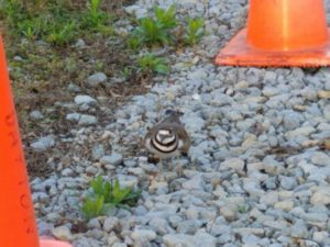 Nesting killdeer on a gravel path between two traffic cones.