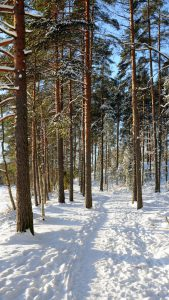 Sunlit path through snow in a forest.