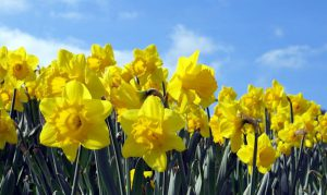 Photo of daffodils under blue sky.