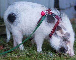 Miniature pig on a leash.