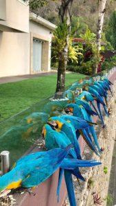 Flock of wild parrots sitting on a wall in Venezuela.