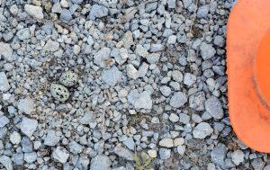 Killdeer nest in gravel with two eggs.