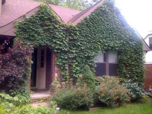 Photo of house with ivy on the front walls.